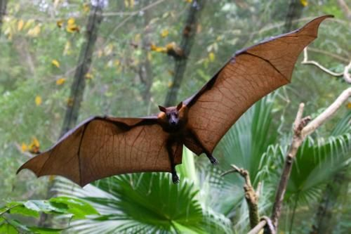 "Pemba Flying Fox or ""mega bat"" -   Their wing span can be up to 6ft!"