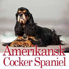 Amerikansk Cocker Spaniel - Den Lystige Cocker, Der Simpelthen Er Elskelig! #hunde #hvalpe - www.petdreams.dk