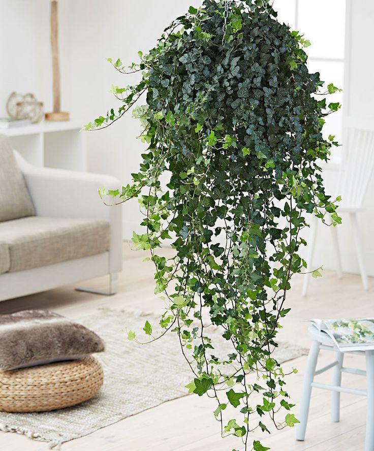 Плющ обыкновенный комнатный:hedera helix, фото