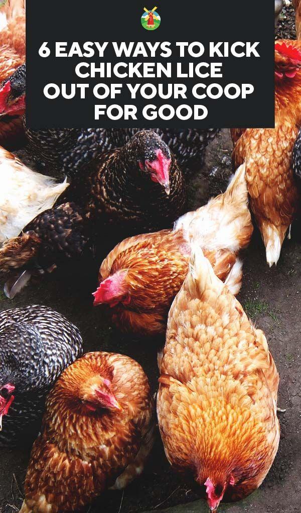 6 Easy Ways To Get Rid Of Chicken Lice In Your Coop For Good Urban Chicken Farming Diy Chicken Coop Chicken Diy
