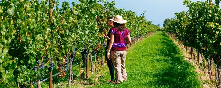 Viñedos en Querétaro: la guía para conocerlos. Si te gusta el vino, la buena comida y la naturaleza, no dejes de visitar los viñedos en Querétaro. En estos paraísos de la vid podrás deleitar todos tus sentidos.