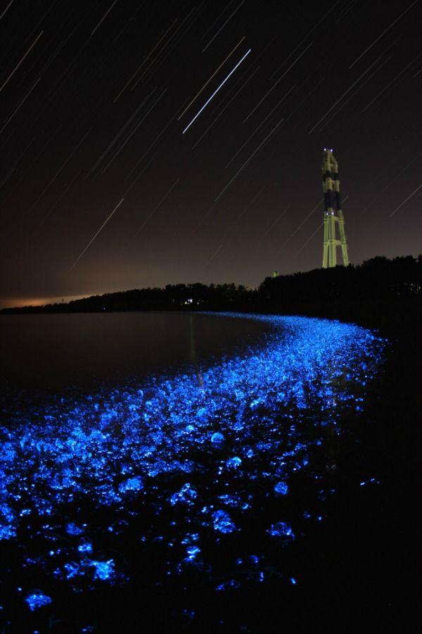 Il Firefly Squid è un calamaro bioluminescente di soli tre centimetri. Si può trovarne in abbondanza nella baia di Toyama, nel Mar Centrale del Giappone. Normalmente vive a 1200 metri sott'acqua, ma durante la stagione riproduttiva che va da marzo a maggio/giugno si sposta verso la superficie dando luogo ad uno spettacolo fantastico. Infatti la luce emessa dal calamaro lucciola fa sì che la superficie del mare inizi a brillare di un magnifico blu cobalto.
