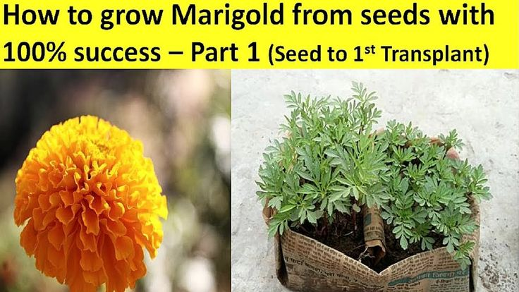 How to Grow Marigold from Seeds with 100 Success Part 1