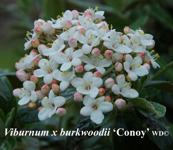 Viburnum x burkwoodii 'Conoy'. Height: 4-5 feet. Spread: 7-8 feet. Notes: election from the cross of V. utile with V. x burkwoodii 'Park Farm Hybrid', creamy white flowers in April are followed by pendulous clusters of red berry-like drupes which ripen in August.