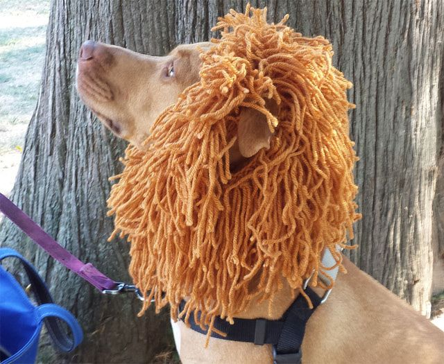 You Can Knit This Lion's Mane for Your Dog for Less Than $5: My Dog Rex Wearing His Lion's Mane Costume