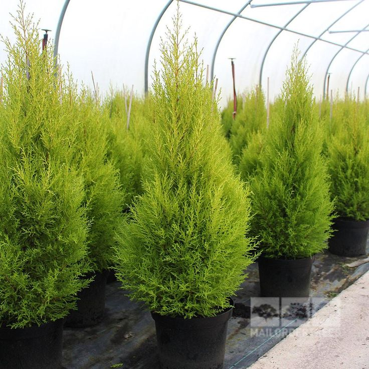 Cupressus Goldcrest Wilma is a small evergreen conifer which has a neat and columnar habit. Buy conifers online for fast UK delivery with a 2yr guarantee!