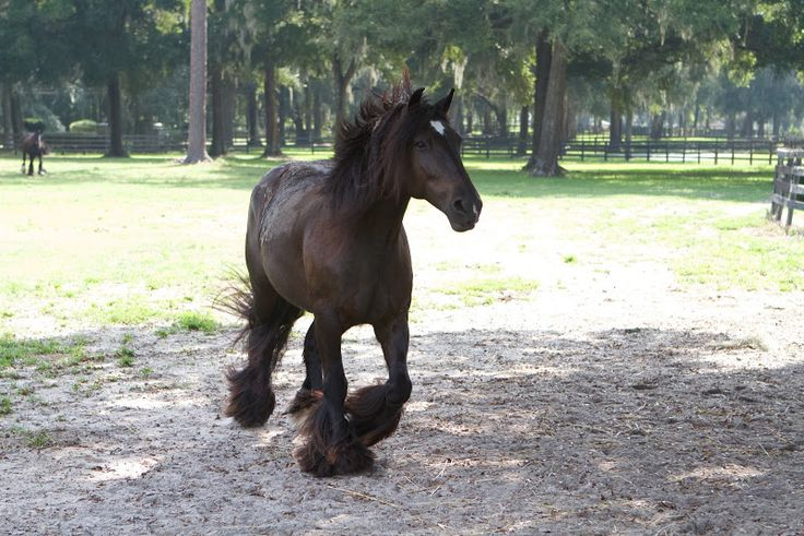 The Gypsy Vanner mare's name is GG Diamond Girl. She live at Gypsy Gold Horse Farm in Ocala, Florida.  www.gypsygold.com: Gypsy Horses, Favorite Pets, Beautiful Animals, Horse Farms, Ocala Florida Horses, Children, Gg Diamond