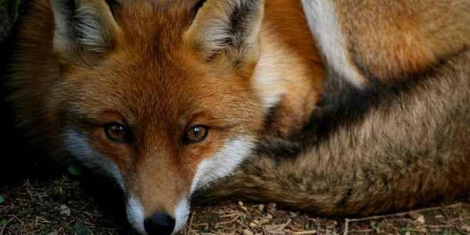 Vulpes vulpes, la meravigliosa volpe rossa Questi animali possono misurare fra i 75 ed i 140 cm, per un peso che varia fra i 3 e gli 11 kg: queste misure rendono la volpe rossa il più grande appartenente al proprio genere. Il colore, spesso r