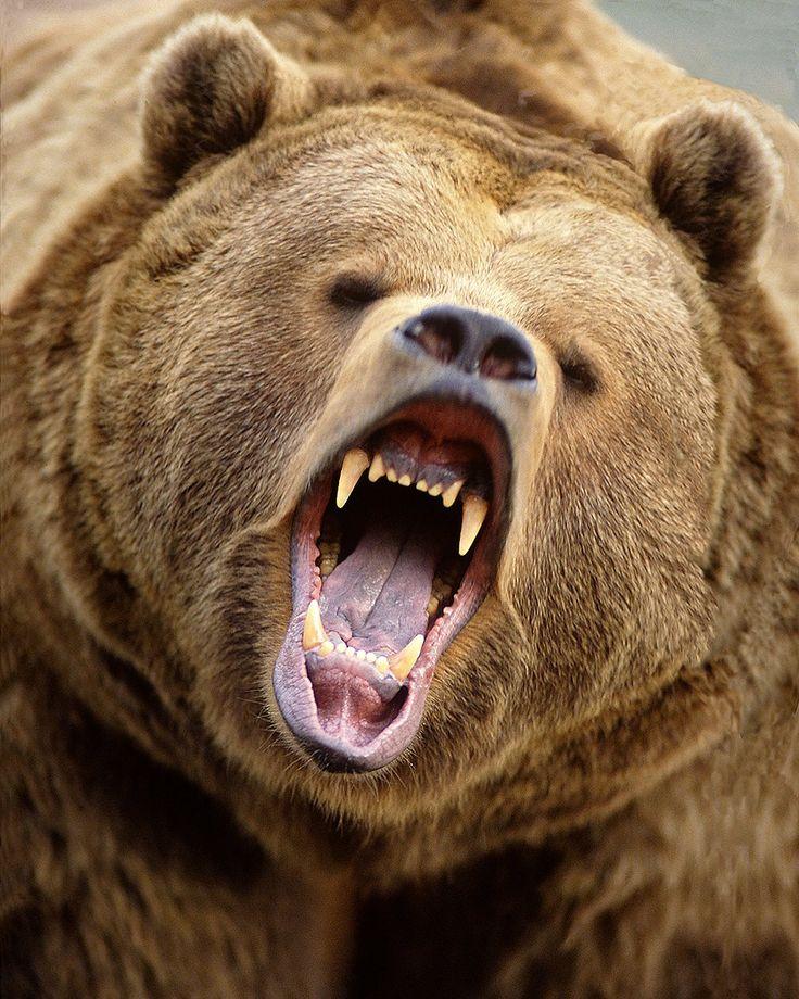 Threatening grizzly bear, Alaska