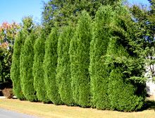 Leyland Cypress    America's Most Planted Privacy Tree!