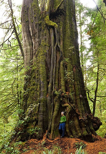 Canada's largest tree. Pacific Rim National Park B.C.