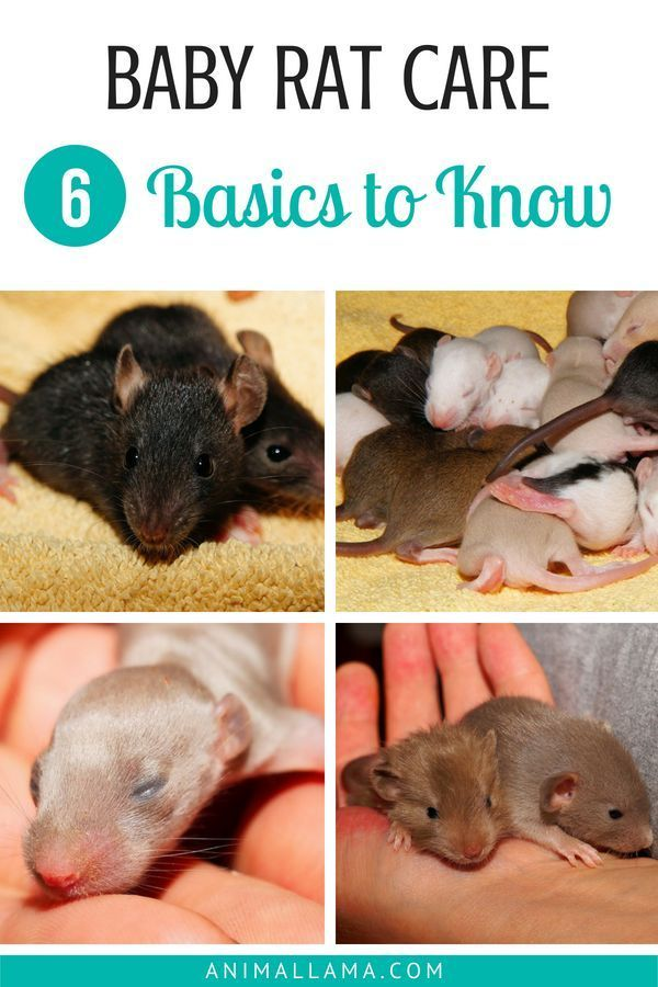Baby Rat Care 6 Basics To Know When Caring For Newborns Animallama Baby Rats Rat Care Pet Rats