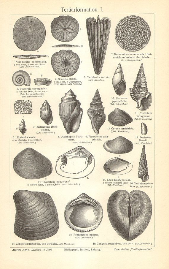 1906 Original Antique Engraving of Fossils by CabinetOfTreasures, $16.95