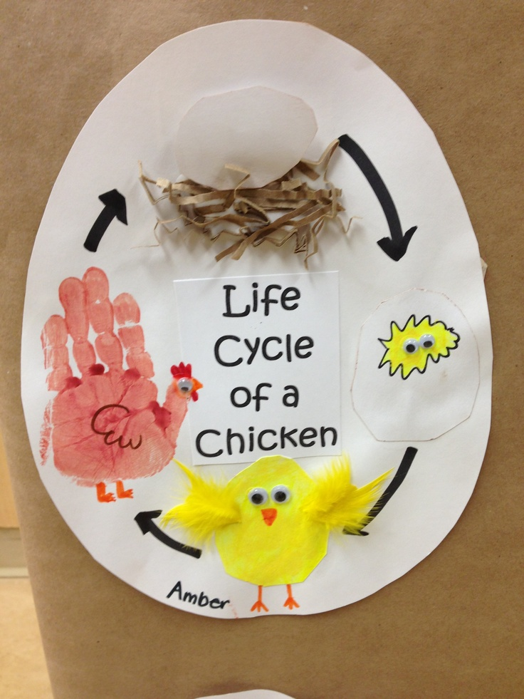 17 Best Images About Life Cycle Of Chick On Pinterest