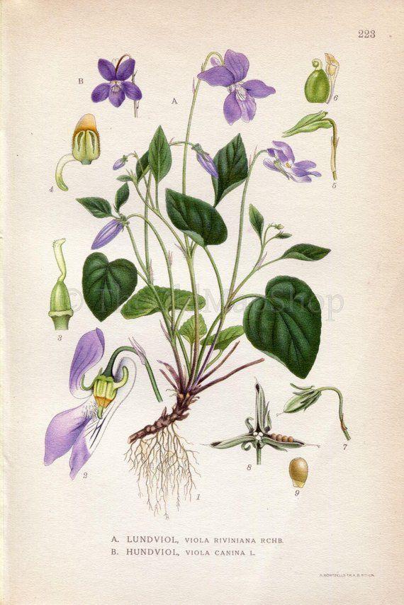 1922 Heath Dog Violet Viola Riviniana Viola Canina Vintage Etsy Botanical Drawings Botanical Illustration Flower Illustration
