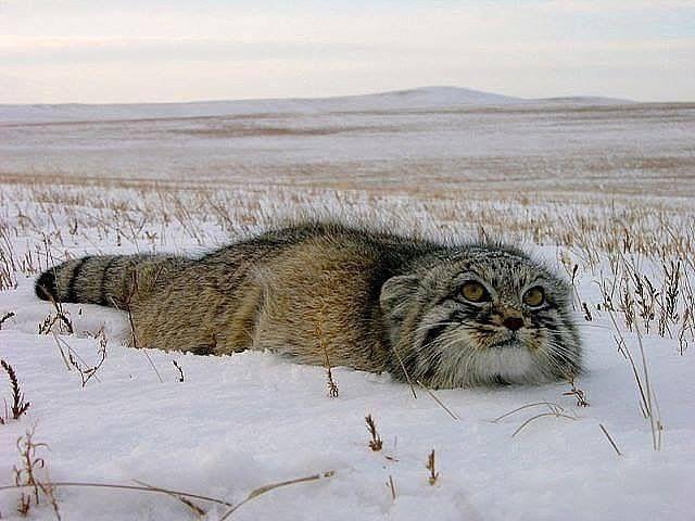 <<Манул - забайкальский дикий кот>>