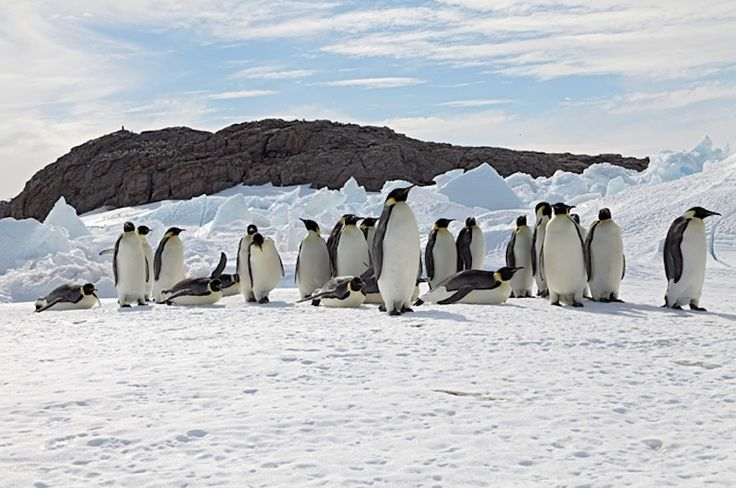 The Emperor Penguin is Antarctica's largest sea bird and one of the most iconic and beloved animals. Emperor Penguins can reach up to 4 feet (1.2 meters) in height, and feed primarily on fish, squid and tiny, shrimplike animals called krill.Unlike other penguin species, Emperors breed during the Antarctic winter, trekking for miles across sea ice to large breeding colonies. Disappearing sea ice due to climate change is destroying penguin habitats, hampering breeding and affecting the birds'…
