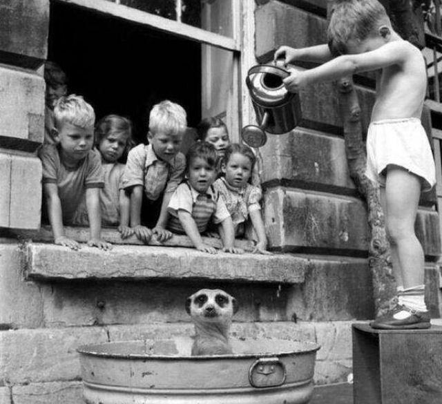 Kids washing a Meerkat. South Africa, 1950s