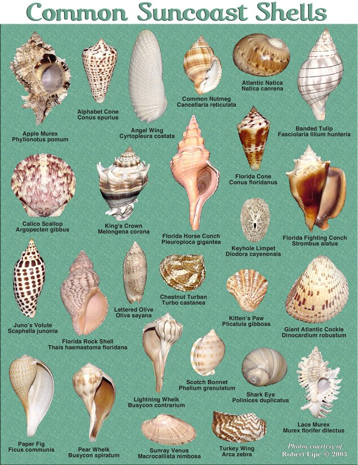 shells on Florida beaches ~~ put a name to your collection!!!
