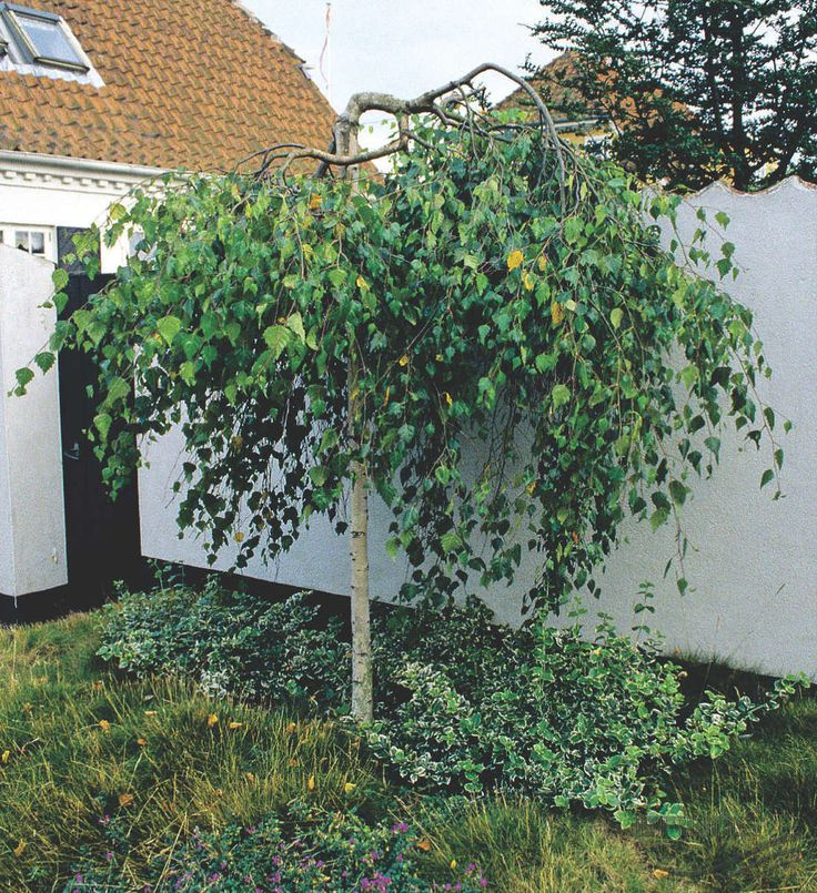 BETULA pendula 'Youngii', Берёза повислая `Юнги` | Pflanzen | null | Bruns Site
