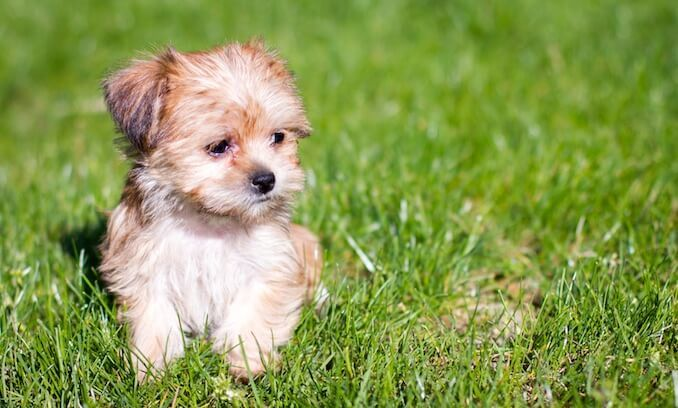 Shorkie A Complete Guide To The Shih Tzu Yorkie Mix Maltese