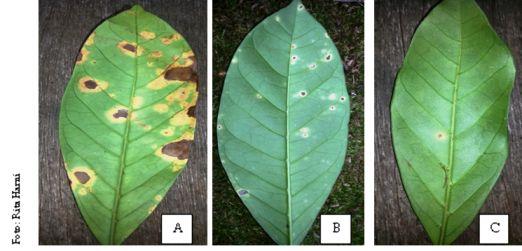 Tipe-tipe gejala serangan penyakit karat daun pada kopi Liberika di Kepulauan Meranti: (a) bercak kecil sampai besar dan nekrosis, (b) bercak kecil sampai sedang, dan (c) bercak kecil dan tidak berkembang