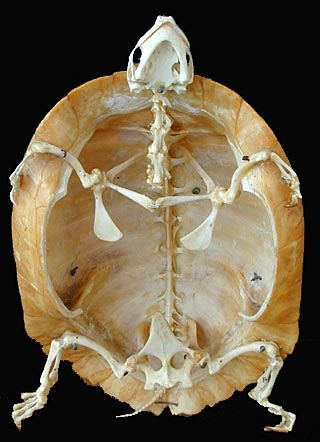 Turtle skeleton. Almost lost my appetite looking at this but I think it's really cool.
