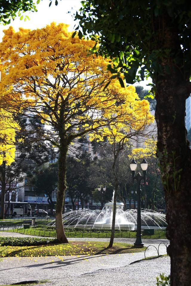 Flores de Ipê amarelo na praça Santos Andrade, no Centro. Curitiba, 20/08/2012 Foto:Cesar Brustolin/SMCS. Arquivo - Ipês em flor festejam o calor e enfeitam a cidade - Álbum - Prefeitura de Curitiba