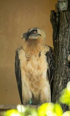 Zoobotanico Jerez :: QUEBRANTAHUESOS