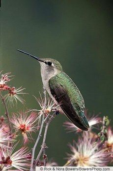 Costa's Hummingbird (female)— Birds of North America Online