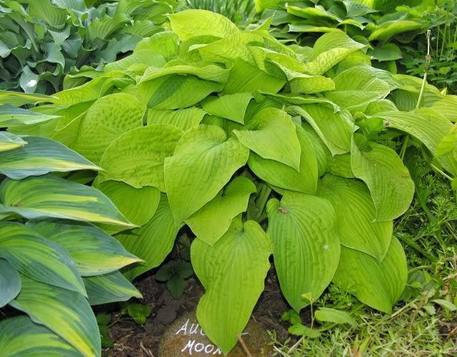 Hosta 'August Moon' | Garden - Mixed Hedge | Plants, Hosta ...