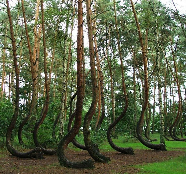 The crooked forest, Nowe Czarnowo, West Pomerania, Poland. This grove of approximately 400 pines was planted around 1930, when its location was still within the German province of Pomerania. It is generally believed that some form of human tool or technique was used to make the trees grow this way, but the method and motive are not currently known. Follow AmiPlanet on pinterest.com/AmiPlanet/