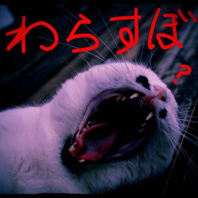 ギャーΣ(゚∀゚ノ)ノ 大口開けてるのを見るとワラスボとかいうクリーチャーを連想する。。。 #pet#cats#neko#ilovecat#にゃんこ#ネコラ部#モフモフ#保護猫#愛猫#love#lovely#cute#funny#meow#instacat#変顔#顔芸#kawaii#白黒猫#鍵しっぽ#sippo#猫写真#ワラスボ#Odontamblyopuslacepedii#warasubo#Creature#