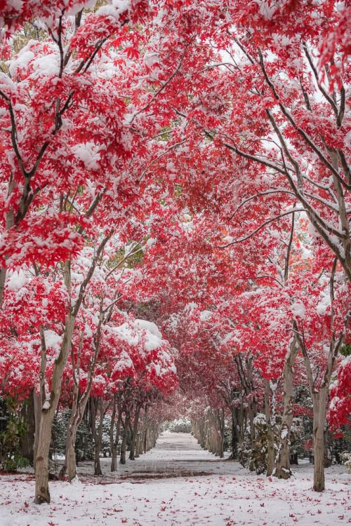 "neo-japanesque: ""  dress up photo by Hiroshi Tanita red japanese mapls (紅葉 momiji) tunnel covered with snow sapporo city, hokkaodo, japan """
