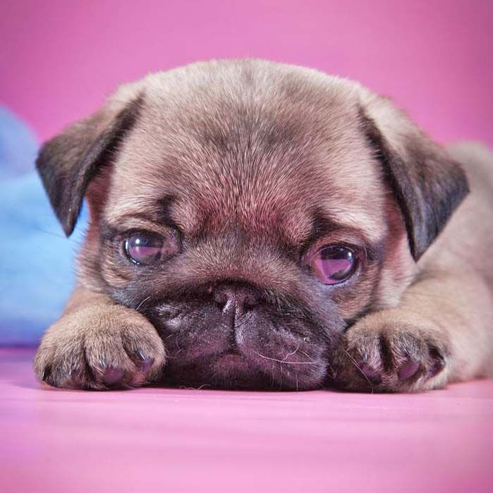 """""""I'm watching you!""""...Click here to see this cutie>>> http://www.fundogpics.com/funny-pug-pictures.html"""