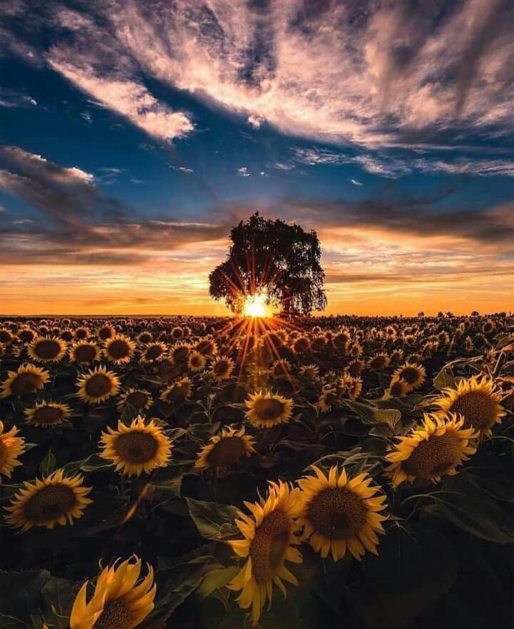 Magnificent sunset in Woodland, California. Sunflowers.