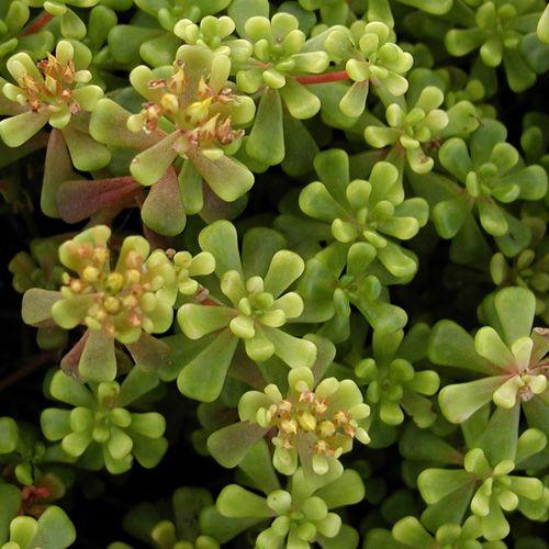 SEDUM oreganum (Sédum - Orpin) : Vivace à feuilles charnues. Difficile d'imaginer des plantes plus accommodantes, particulièrement en sols secs et rocailleux. Malgré leur popularité, beaucoup restent encore à découvrir dans les utilisations les plus variées. Feuillage charnu vert foncé, brunâtre, brillant. Fleurs jaunes.