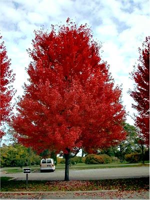 Acre Freemanii: Autumn Blaze Maple, a cultivar crossing silver & red maples and exhibiting good characteristics of both. Speedy growth rate of silver, deep roots and fall color of red maple.