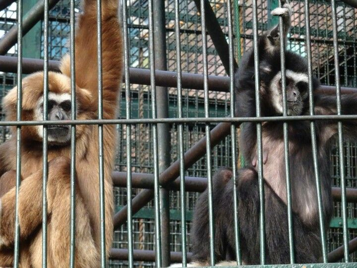Seoul Zoo, caged monkeys ponder existentialism