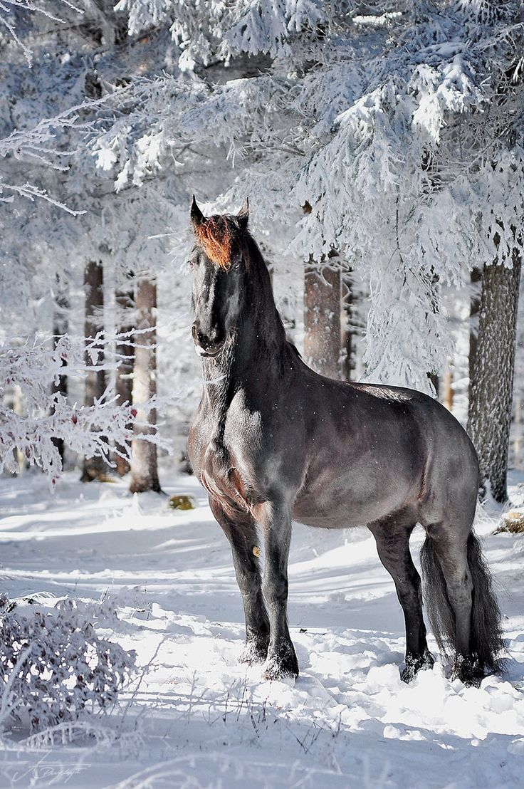 Imperatore horse vans for sale - Fresian Mare By Anna Przyby