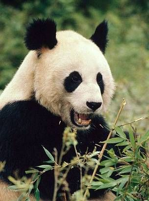 Giant panda in Wolong Nature Reserve in Sichuan Province / ©: Susan A. Mainka / WWF