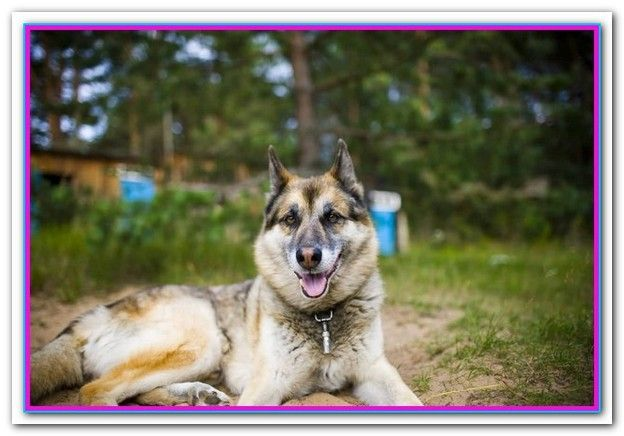 Best Dog Food For German Shepherd Husky Best Dog Food Corgi Mix