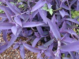propagate Purple Heart Wandering Jew - Cut off a leaf with a good portion of stem, poke a hole in the ground with a pencil, stick the stem in it, and walk away.