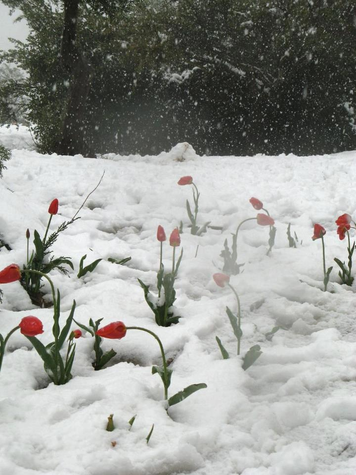 Winter snow in blooming flowers on Mount Hermon.
