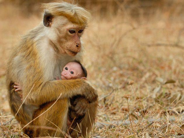 Disneynature's Monkey Kingdom