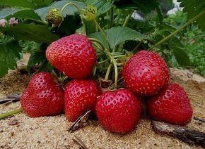 Долгое выращивание клубники и садовой земляники на одном месте приводит к истощению почвы. Растения с каждым годом все больше подвергаются различным заболеваниям и нападкам вредителей, ягоды становятс…