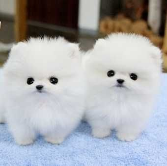 Micro Male&Female Poms Puppies