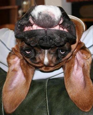 Upside down Boxer                                                                                                                                                      Plus