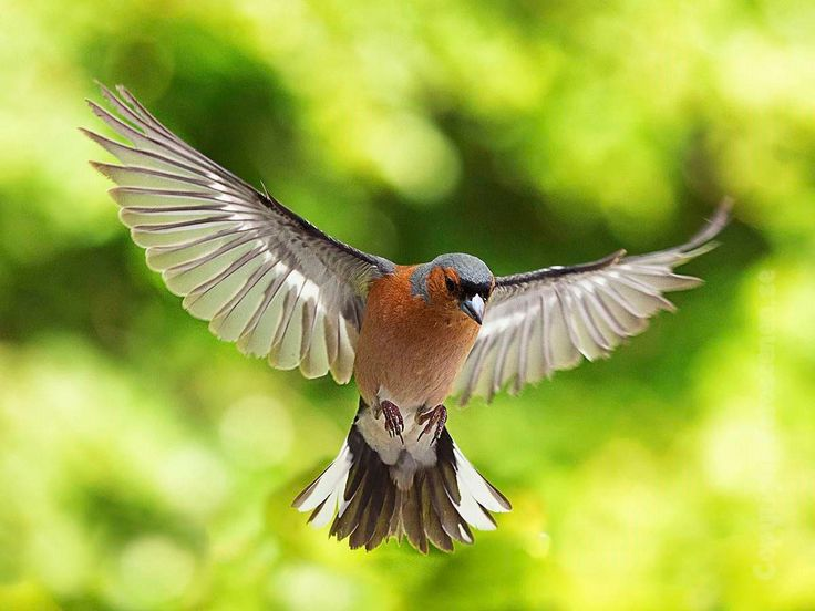 Common Chaffinch - A Common Chaffinch flying.