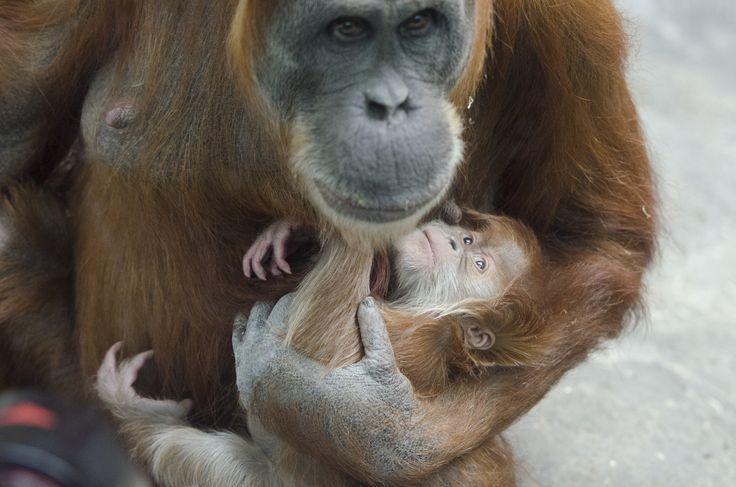 Image result for baby orangutan nursing